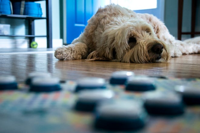 Dewey, a 5-year-old golden doodle, lies next to a pad with buttons that he can activate to communicate with Wednesday in his Iowa City home.