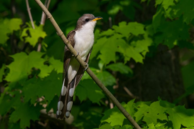 A yellow-billed cuckoo