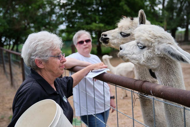 Sister Jane Belanger gives some treats to the alpacas they raise at Heartland Farms near Great Bend.