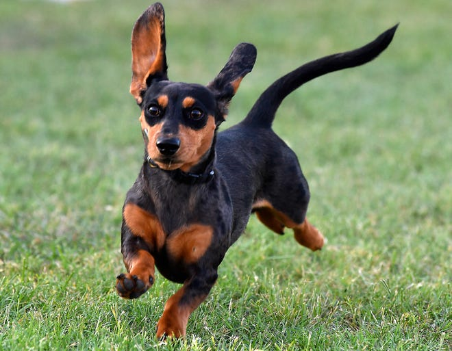 A dachshund runs down the course during the Dachshund Races & Rescued Dog Reunion at the Nelson Park Festival Gardens on Thursday.