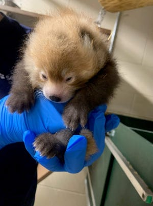 One of two male red panda cubs born June 20, 2021 at the Seneca Park Zoo in Rochester, NY.