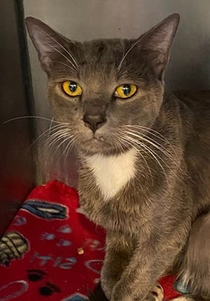 Jazz, an adult male domestic short hair, is available for adoption from SAFE Pet Rescue of Northeast Florida. Vaccinations are up to date. Call 904-325-0196.
