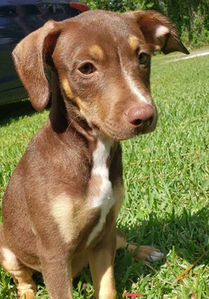 Turnip, a young male mixed breed, is available for adoption from Wags & Whiskers Pet Rescue. Routine shots are up to date. Call 904-797-6039 or go to wwpetrescue.org.