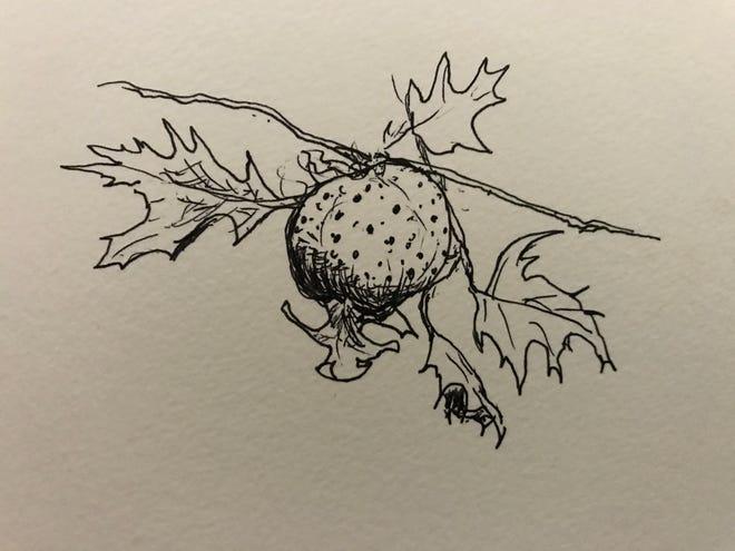 Oak apple gall