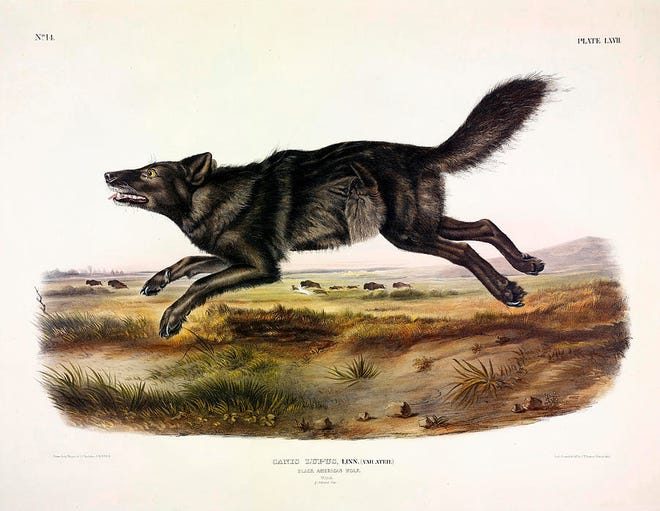 This is a drawing of the black American wolf by John James Audubon.