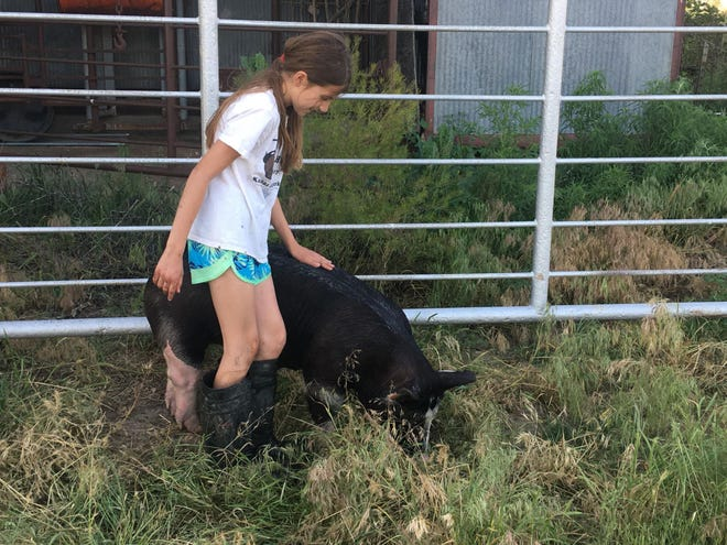 The pigs, lambs and other 2021 projects are on their way to the fair - check out the schedule and make time for some family fun in Pratt County towards the week's end.