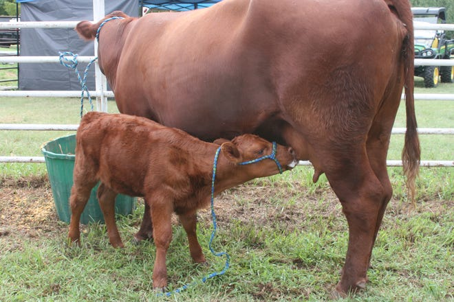 Nothing better than a frothy snack for this calf at the Pratt County Fair.