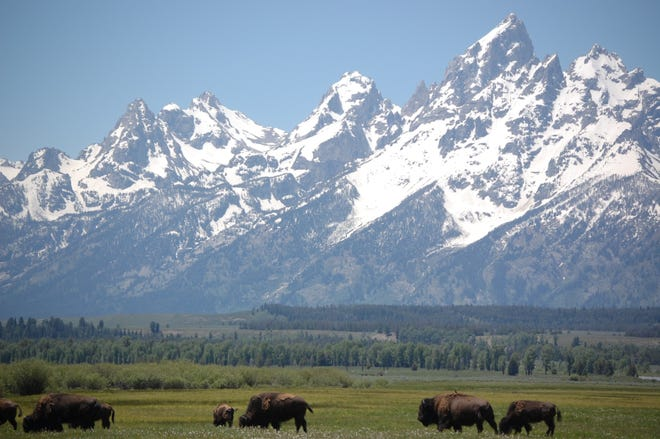 Bison graze in the shadow of the Grand Tetons.
