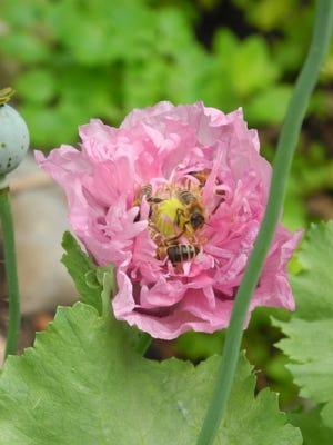 Honeybees at work on a poppy blossom.