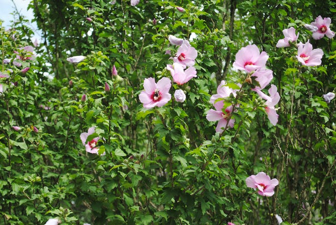 I was unable to capture a photo of any of the hummingbirds as I approached the large Rose of Sharon at the top of the driveway. As soon as I approached the tree, the little birds zipped away. My presence did not bother the bees at all. They kept right on sipping the nectar from the blossoms' golden centers. Look closely; and you will see a bee in almost every visible flower.