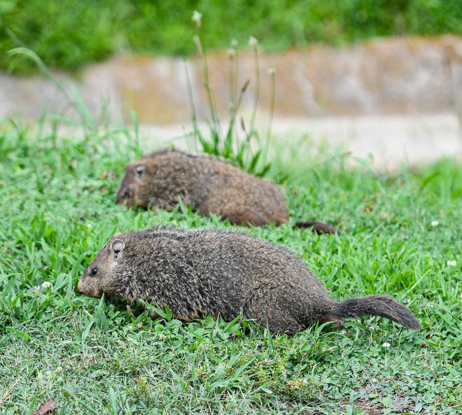 Groundhogs eat in July 2021.