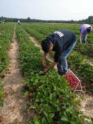 Young workers pick fruit to be processed at the Oneida Cannery.