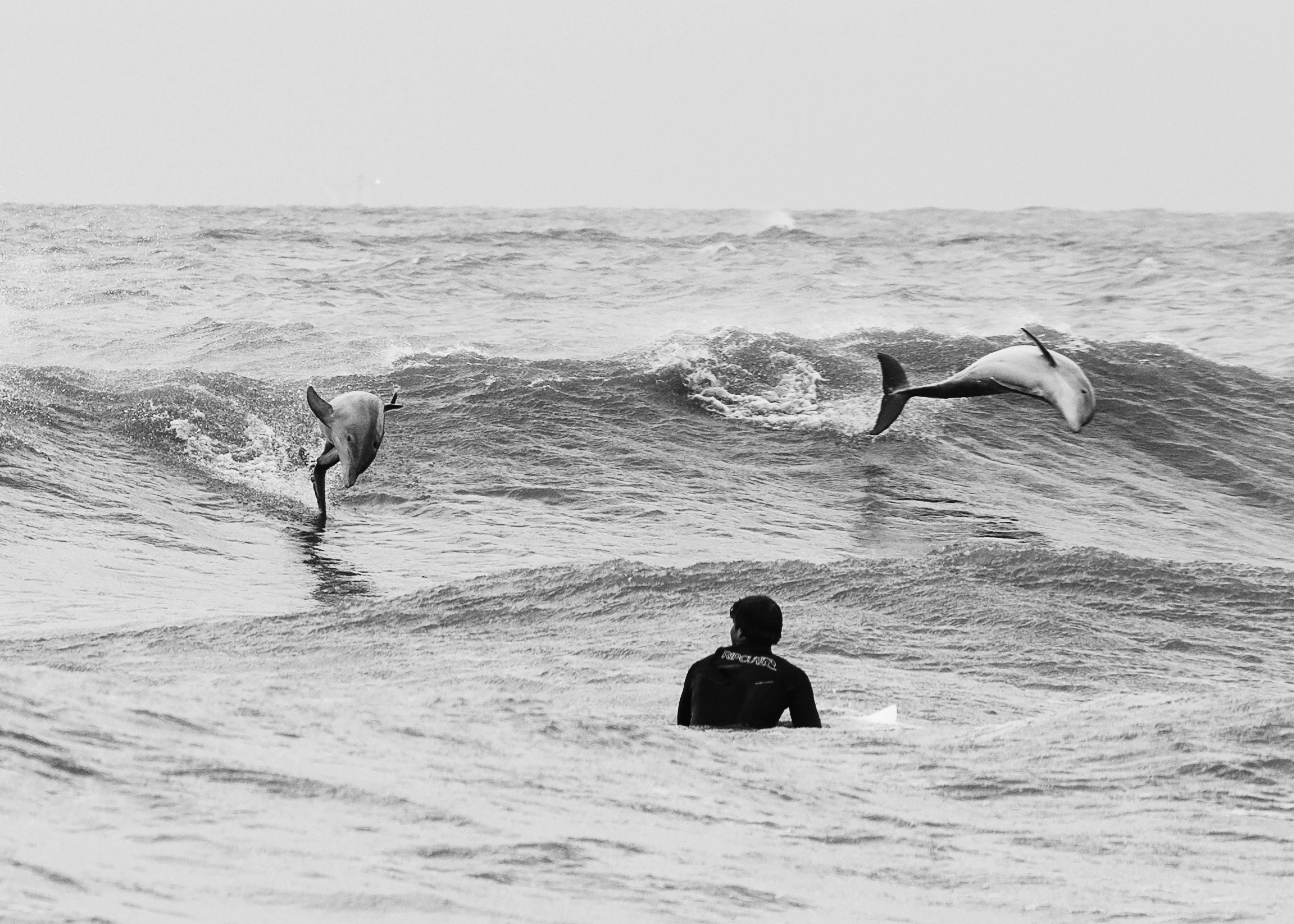 Grand Isle surfer and dolphins