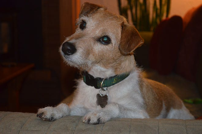Harry, the mostly Jack Russell terrier, and former owner of Henry and Kay Miller