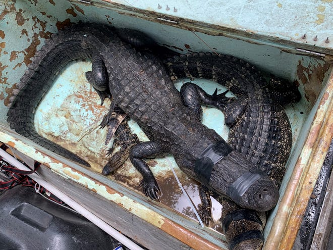 A female alligator measuring over 8-feet long, pictured on top, was captured alive at Halpatiokee Park on Monday, July 19, 2021 after it bit a man who fell from his bike, according to Martin County sheriff's officials. Two other gators in the bin were from residential stops the trapper made before arriving at the park.