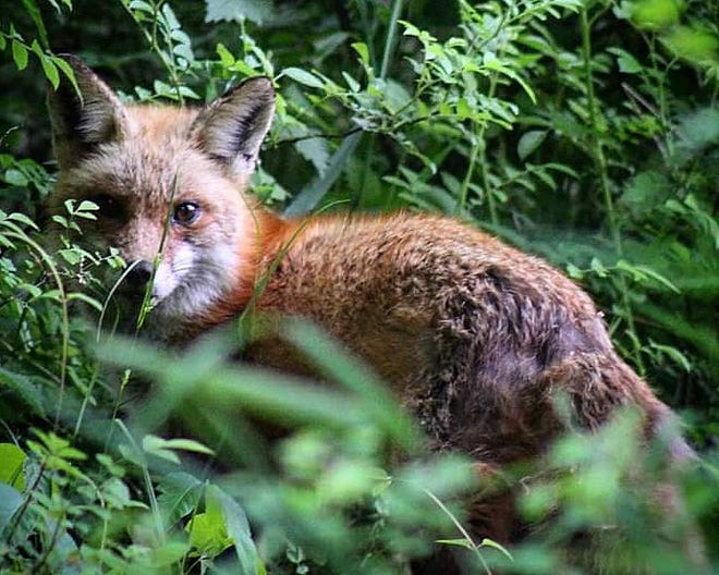 A fox peers through some foliage at Brandywine Creek State Park.