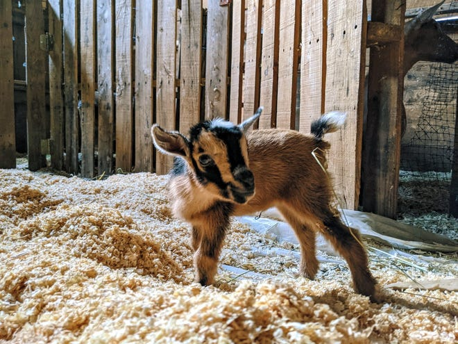 From 1 to2 p.m. on Berwick's Open Farm Day, July 25, you can have your photo taken with one (or several) baby goats in the goat kid-corral at The Dear Old Farm in Berwick.