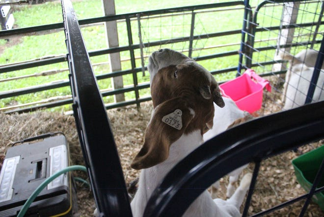 Pictured is a goat entry at the 2021 Fremont County Fair.