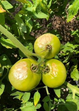 Sunscald on tomato fruit