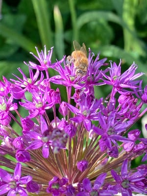 A bee is finding plenty to take back to the hive in these Back Bay flowers.