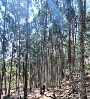 Eucalyptus Forest, Ethiopia.