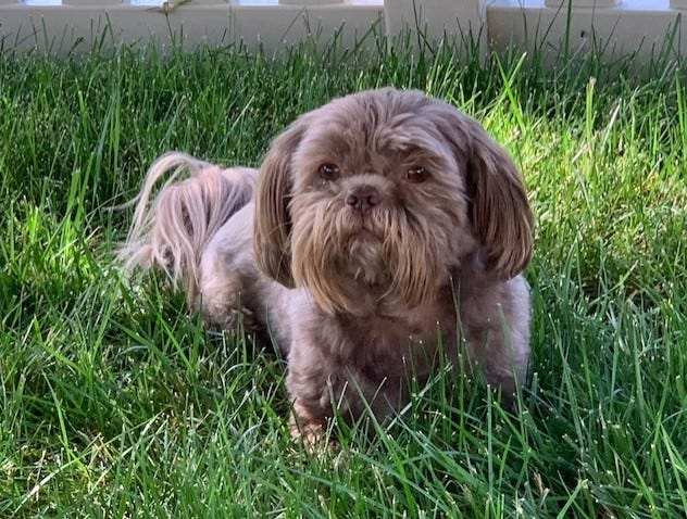 Seven-year-old Shih Tzu Pedro, who went missing in Colonial Heights, was returned home healthy and happy after his four-day adventure.
