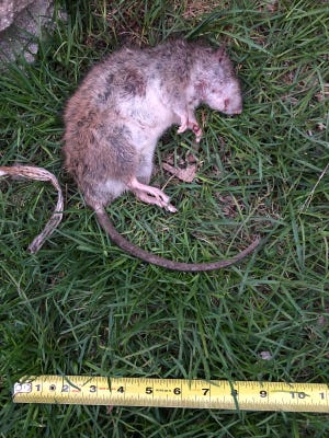 This rat, about 6 inches long,  didn't survive, but plenty of its kind have been roaming central Waukesha neighborhoods, including Caples Park along Grand Avenue. Neighbors have ideas about why rats seem more prevalent locally this year, and some want the city to do what it can to help.