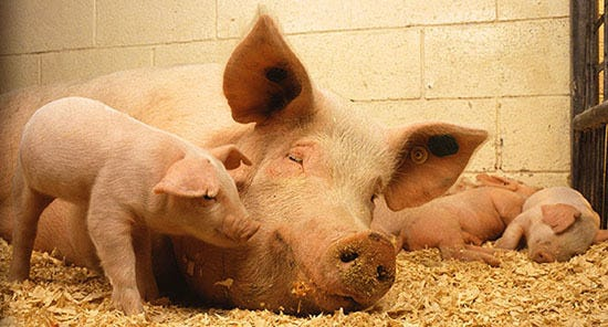 Pigs that experience heat stress while pregnant can predispose their offspring to health complications and diminished performance later in life.