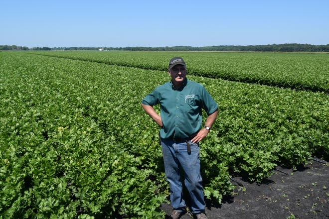Farmer John Bobek stands in front of his celery field ready to be harvested.