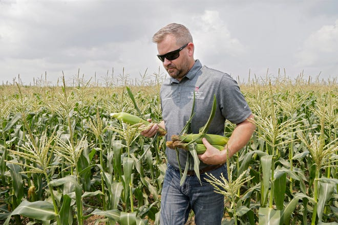 Nate Douridas, farm manager, harvests a few ears of sweet corn at the Molly Caren Agricultural Center in London. Douridas studies practices that farmers are adopting to reduce soil run off.