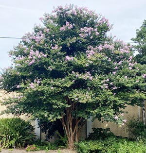 Multi-trunked crape myrtles pruned properly can be very attractive