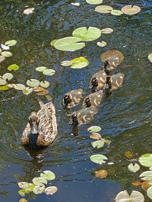 Here's a family of ducks swimming through the lily pads.