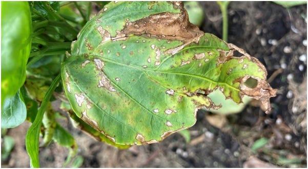 Bacterial Leaf Spot