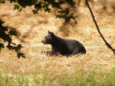 A black bear rests in a field in the Delaware Water Gap National Recreation Area in this August, 2020 file photo.