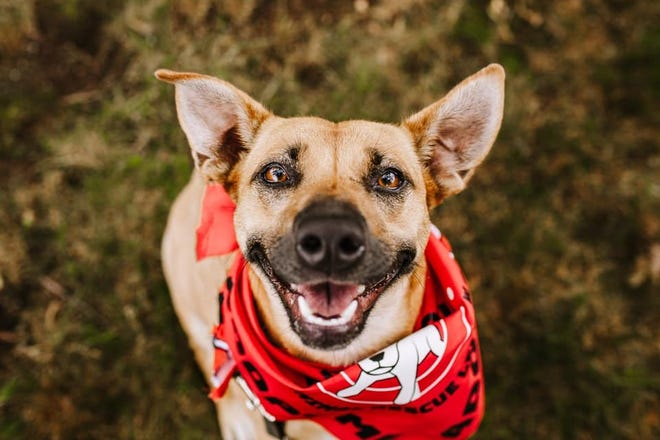 Dezy, a young terrier mix, is available through One Soul Animal Rescue League.