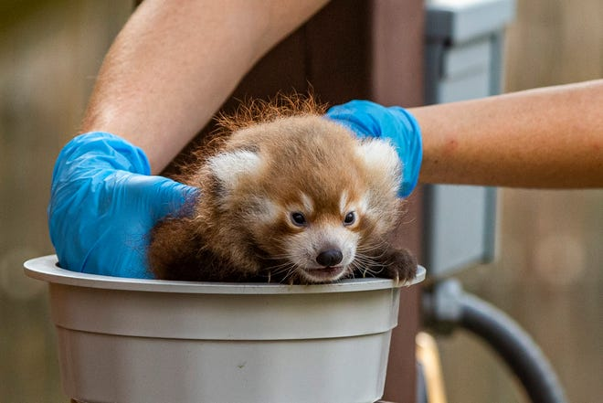 Zookeeper Aubrey Hughes weighs a 4-week-old red panda during a scheduled wellness check at Potawatomi Zoo on Wednesday in South Bend.