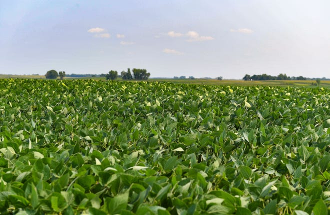 Healthy soybeans grow in a field on Tuesday, July 20, 2021 near Wentworth.