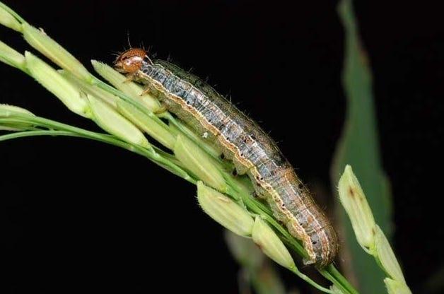 army worm larvae