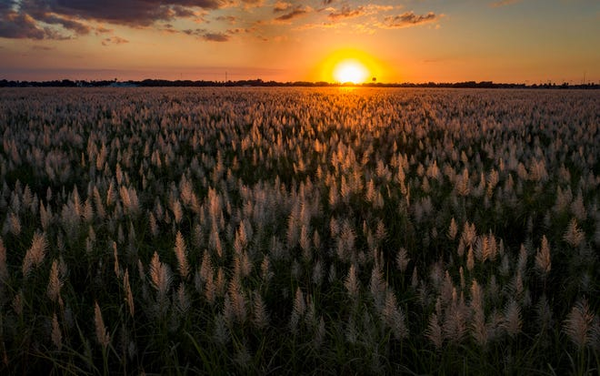 The sun sets behind a sugar cane field in Belle Glade, Florida on January 29, 2021. (Greg Lovett/The Palm Beach Post)