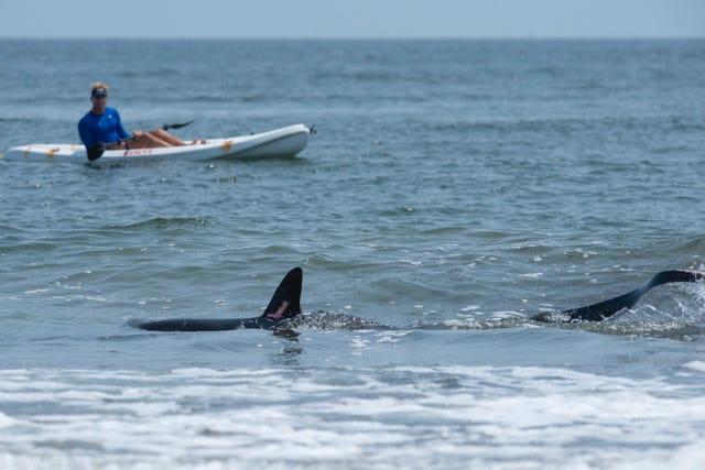 A shark off the beach at Narragansett, Thursday July 22, 2021