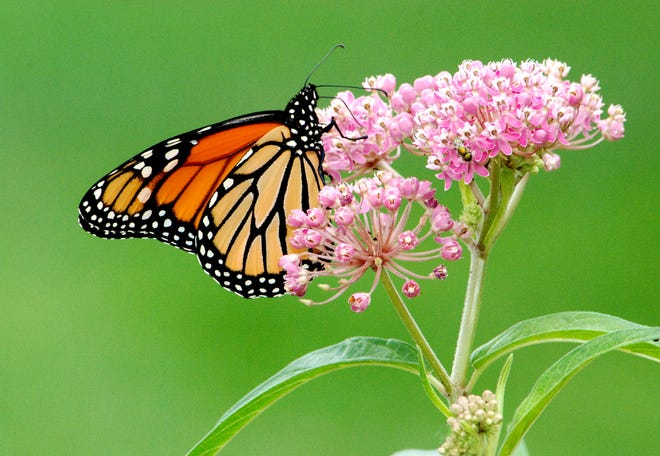 A monarch butterfly sits atop flowering swamp milkweed in a Michigan garden.