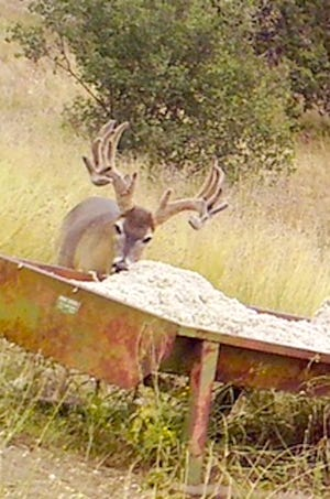 This trophy buck photographed at Camp Verde Ranch, was located using a game camera posted near a cottonseed feeding station. He was watched for several years before a hunter was allowed to take him, making sure he was old enough and had ben able to breed successfully.