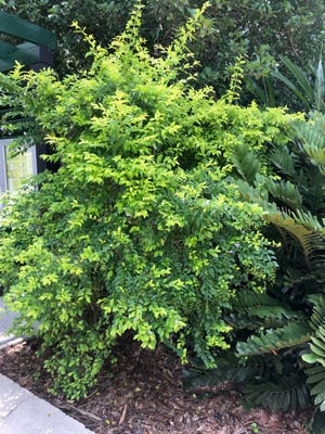 Golden dewdrop, an easy to grow shrub, features tiered branches of lime green foliage.
