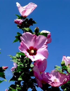 Large single-petaled Rose of Sharon blossoms are magnets for pollinators. The rose-pink petals with magenta throats make for a showy floral display from early July through autumn.