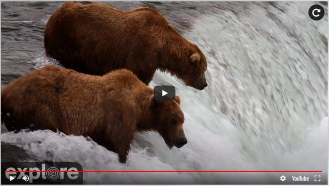 Brown bears feed in the Brooks River in Alaska on a webcam at explore.org.