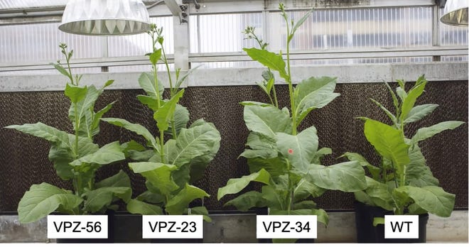 Three genetically modified tobacco plants grew larger than the natural wild-type (WT) plant in this greenhouse experiment.  In a tobacco crop experiment in Illinois, the modified plants produced 14 to 20% more biomass than the wild-type control plants.