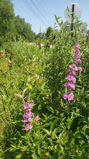 Flower spikes of purple loosestrife can be seen blooming from roadside ditches across Northern Michigan. This invasive plant is easily spread but can be controlled by cutting and bagging the flower heads or hand-pulling the whole plant before they go to seed.