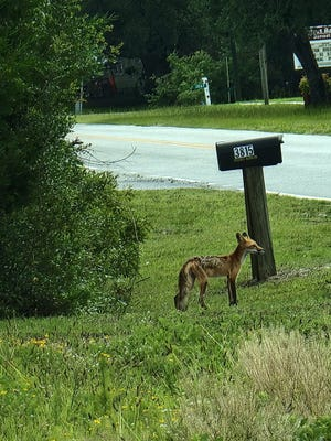 A fox spotted Wednesday in the Sunset Harbor area of Brunswick County.