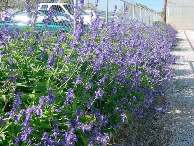 Henry Duelberg Salvia is one example of a native plant that is drought-tolerant and requires less watering, resulting in reduced irrigation needs and cost saving.