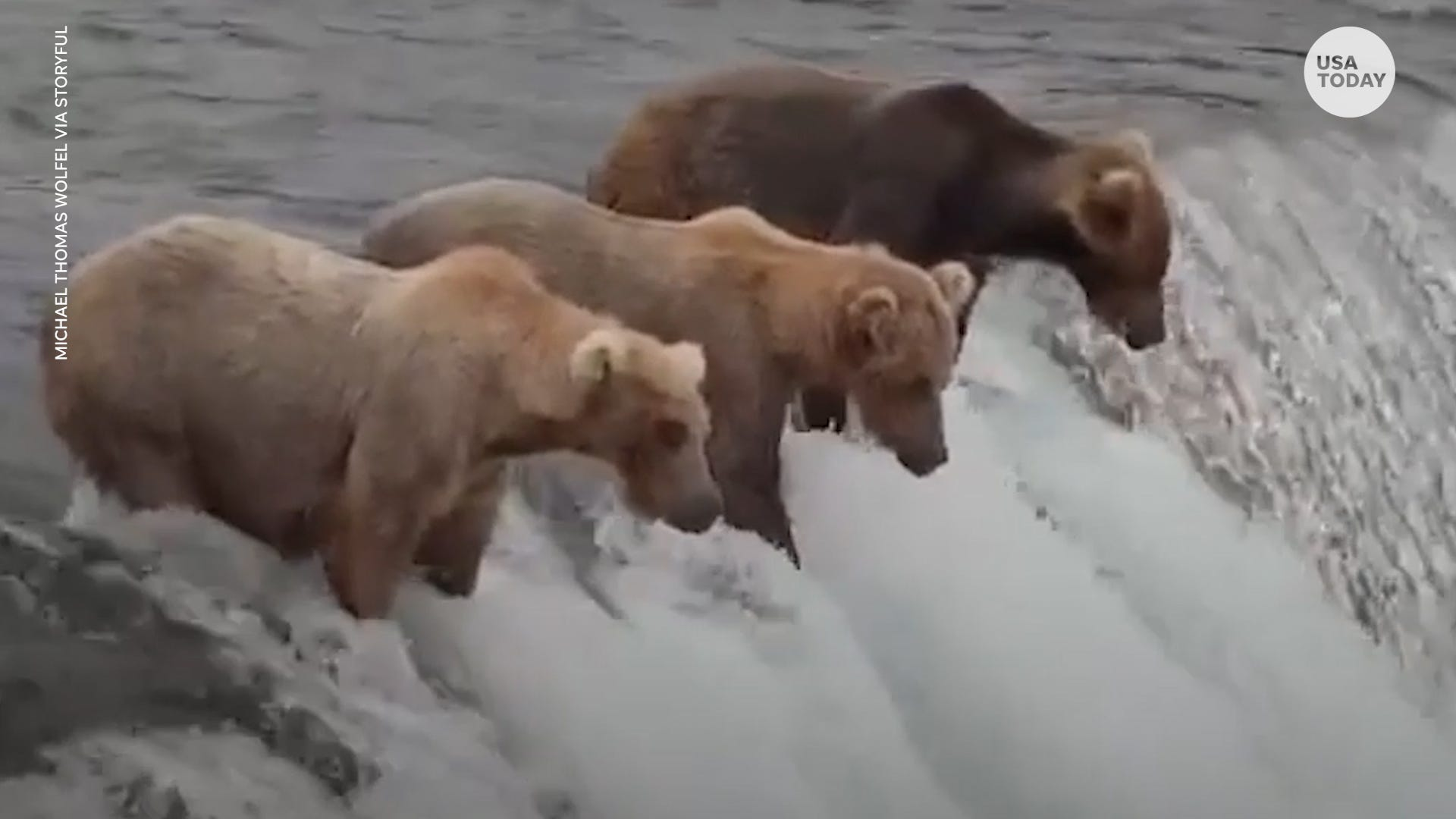 Jealous bears watch as their friend catches a flying salmon